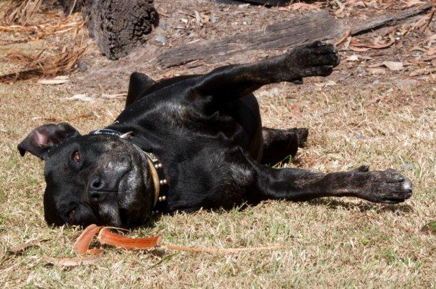 Bundy the black dog lying in the sun