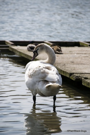 Versaille swan preening itself