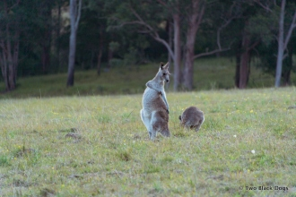 Kangaroo scratching its belly